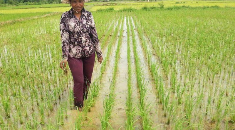EU Rice Tariffs 'A Weapon to Kill Cambodian Farmers'