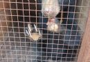 Pawless Sun Bear Cub Rescued In Stung Treng