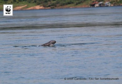 Another Baby Mekong Dolphin Spotted