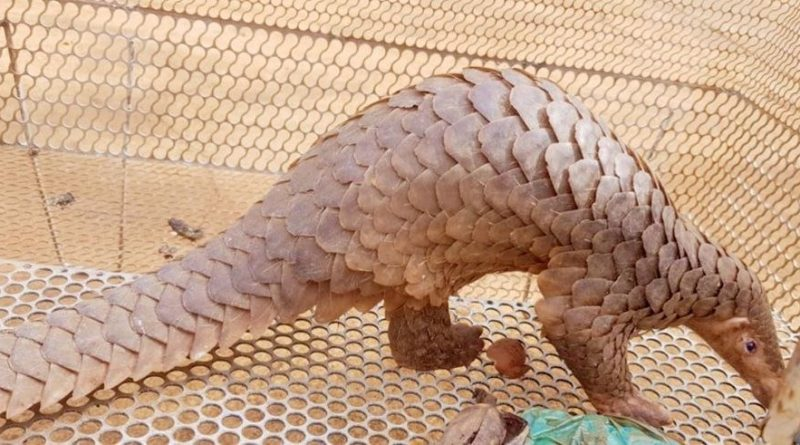 Pangolin Rescued In Ratanakiri