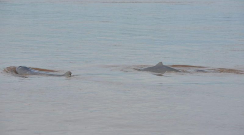 Officials Call To Save River Dolphins As Numbers Fall