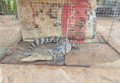 Kampong Chhnang Frog Catchers Cage Captured Crocodile